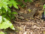 Tuatara in the bush in New Zealand
