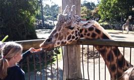 Feeding the giraffe at the Auckland Zoo