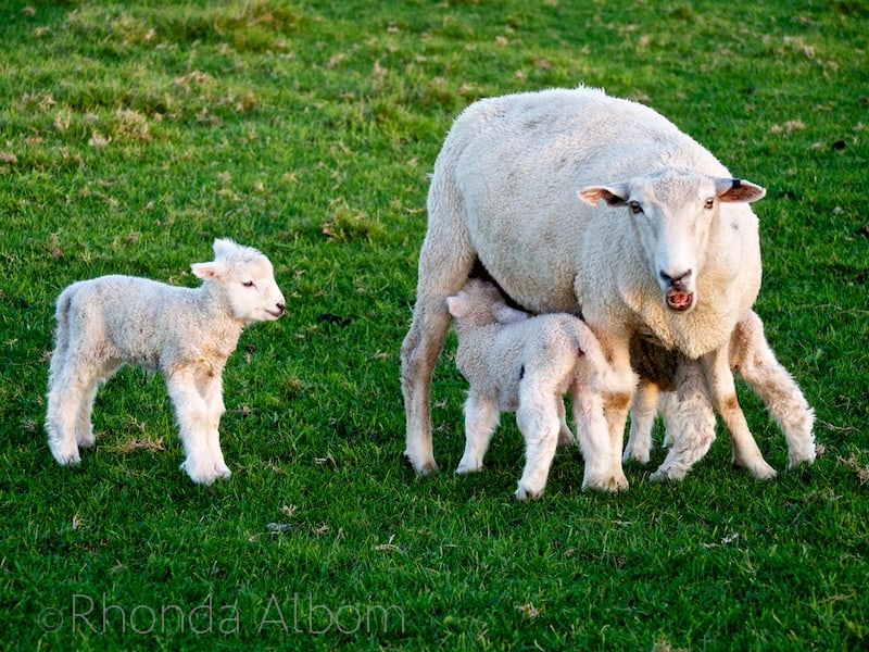 Sheep and lambs in Shakespear Park, Auckland, New Zealand