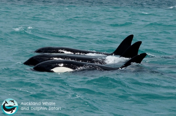 Orca whales in the Huraki Gulf just ouside of Auckland, New Zealand