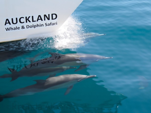 A pod of dolphins swimming with the AWADS boat in Auckland New Zealand