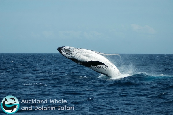 Breaching whale in the Huraki Gulf just ouside of Auckland, New Zealand