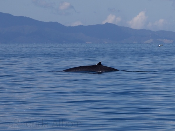 Critically endangered Bryde's Whale in Auckland New Zealand
