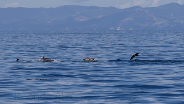 A pod of dolphins in Auckland New Zealand