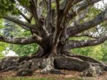 An impressive tree in Auckland Domain Park in New Zealand.