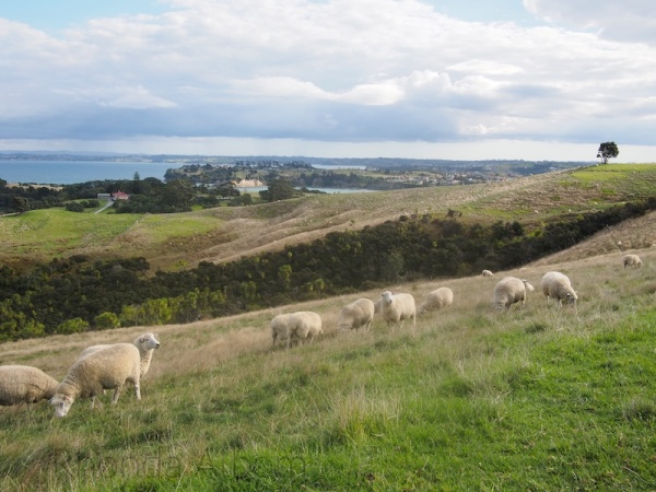 Sheep seen from lookout tower at Shakespear Park, Auckland New Zealand