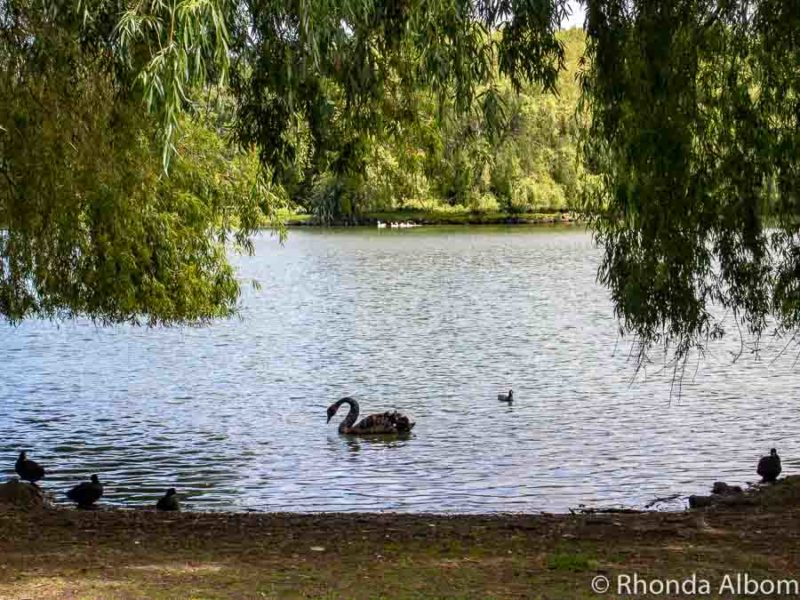 Black swans in Western Springs Lakeside Park in Auckland New Zealand