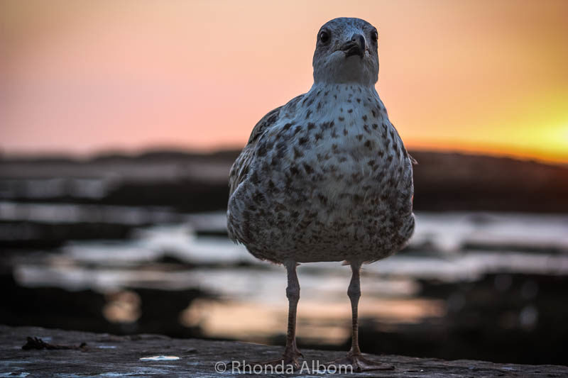 Seagull in Essaouira Morocco at sunset