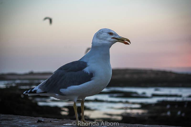 Seagull in Essaouira Morocco