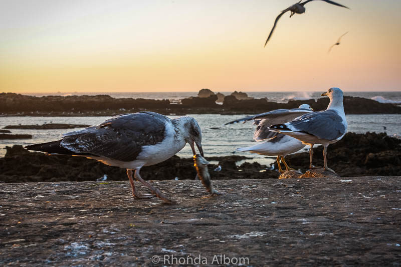 Seagull eating a worm in Essaouira Morocco