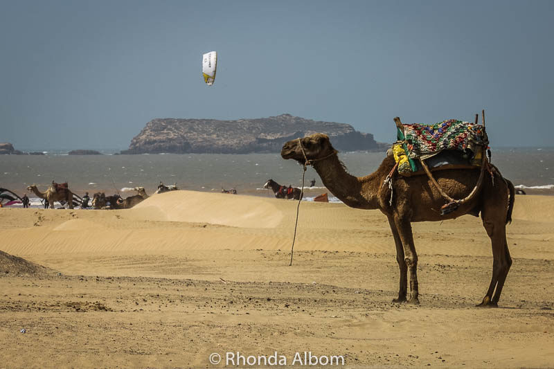 Camel on Essaouira beach in Morocco
