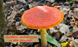Colorful Mushroom in Jaggers Bush, Auckland New Zealand