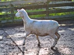 Are Ewe Pregnant? Scanning Sheep in New Zealand