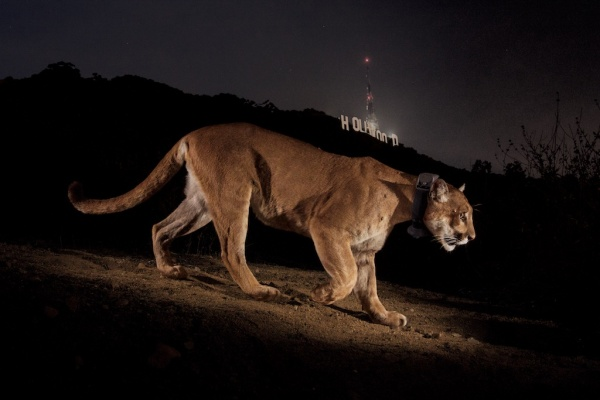 Cougar in Griffith Park with Hollywood sign in the background