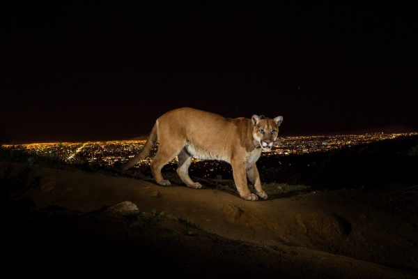 Cougar in Griffith Park with LA in the background