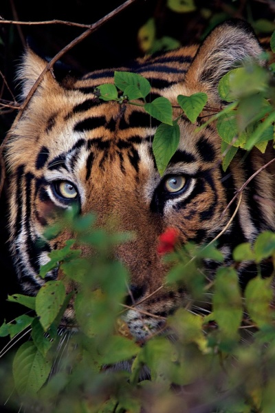 Male tiger photographed near a village after killing a cow inside Bandhavgarh in India.