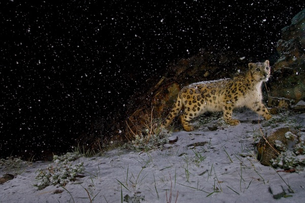 Snow leopard in falling snow, India ©Steve Winter