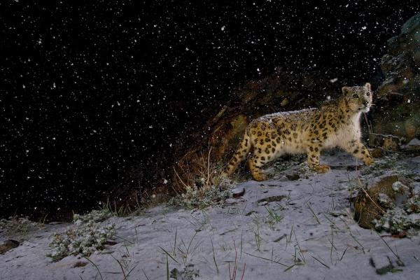 Snow leopard in falling snow, India ©Steve Winter