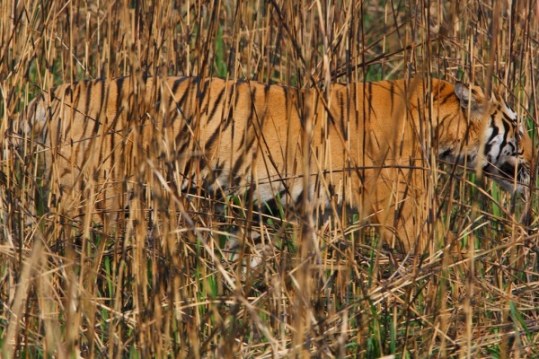 Tiger concealed in grass, Kaziranga National Park ©Steve Winter