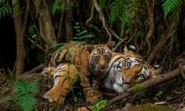 Tigers in Bandhavgarh Natl Park India ©Steve Winter