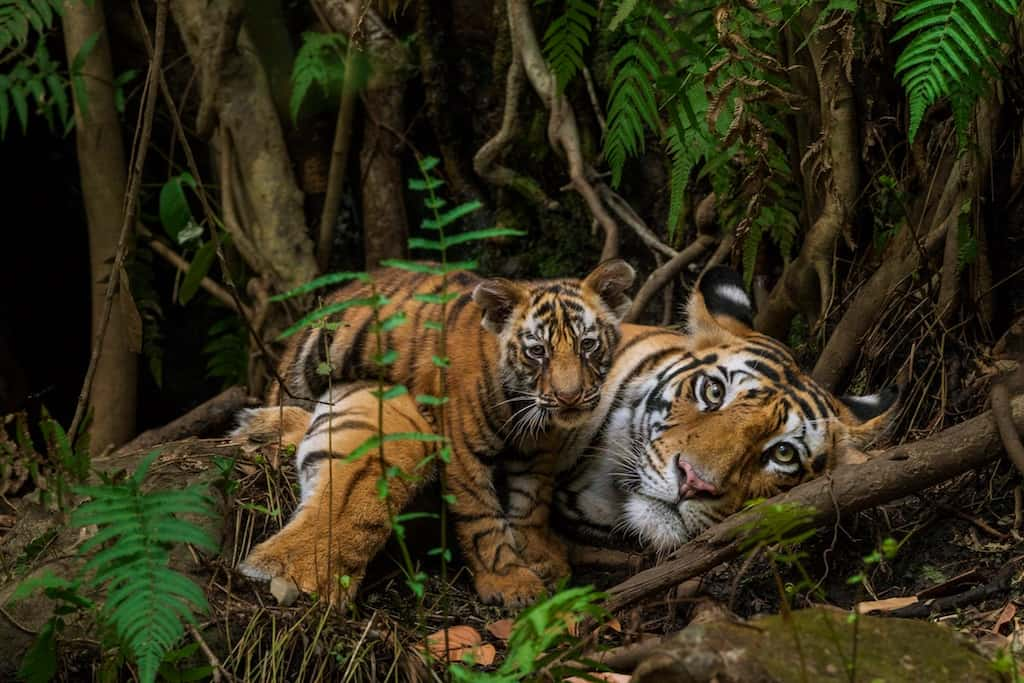 Tigers in Bandhavgarh Natl Park India ©Steve Winter