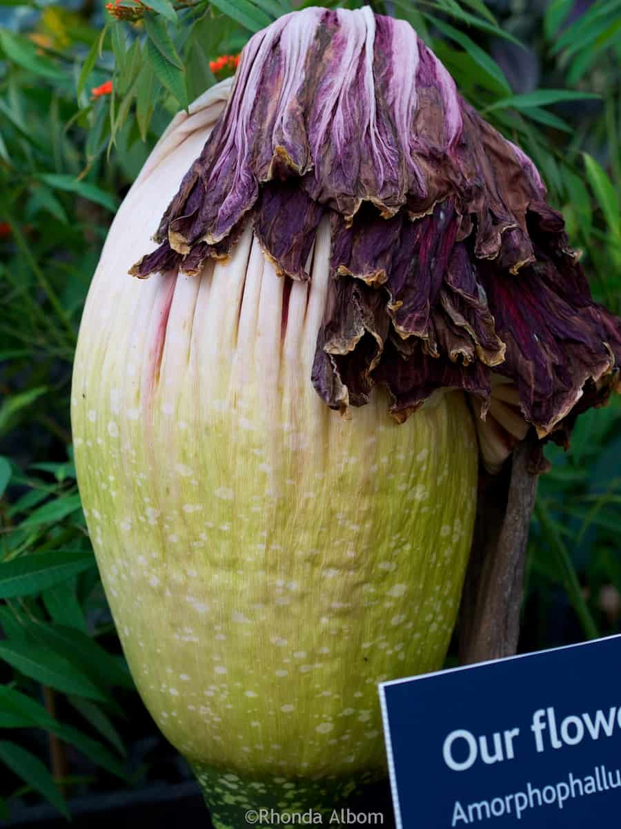 Corpse Flower after it bloomed and retreated in the Auckland Domain Wintergardens, New Zealand