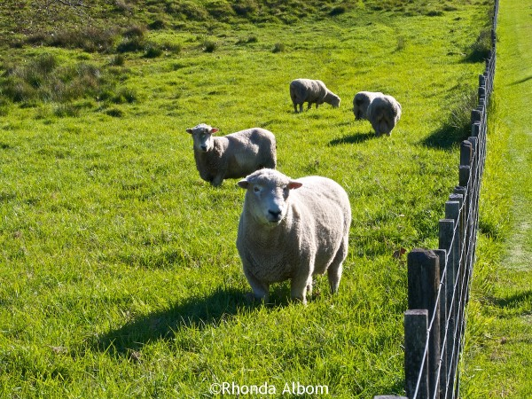 the rams in Shakespear Park, Auckland New Zealand