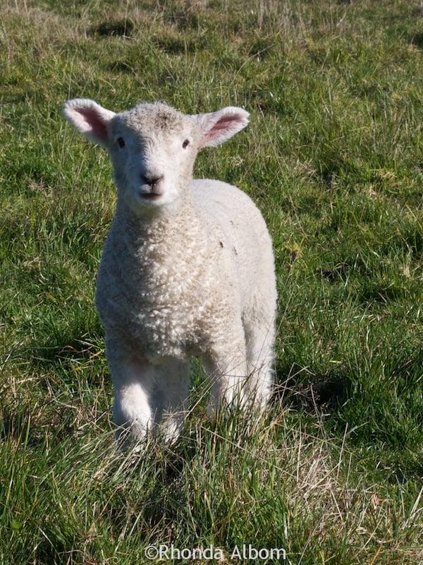 Adorable newborn lamb in Shakespear Park, Auckland New Zealand