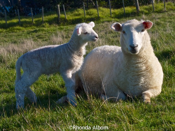 Baby lamb with its mama at Shakespear Park, Auckland New Zealand