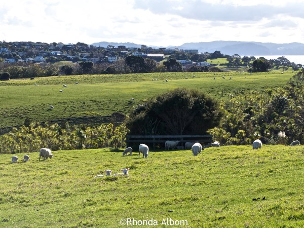 Baby lambs and ewes dot the hills at Shakespear Park, Auckland New Zealand