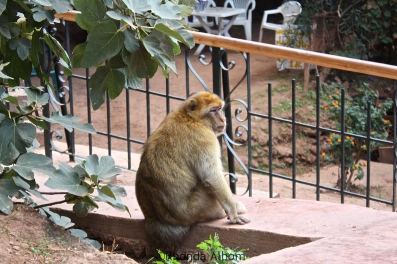 Barbary macaque near Cascade D'Ouzoud