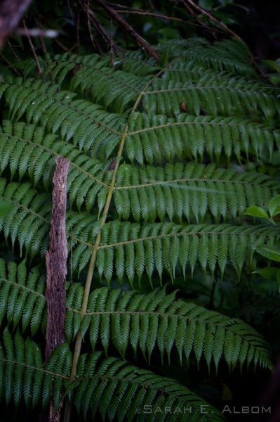Silver fern in the undergrowth of Shakespear Park, New Zealand - Photograph copyright Sarah E. Albom 2015