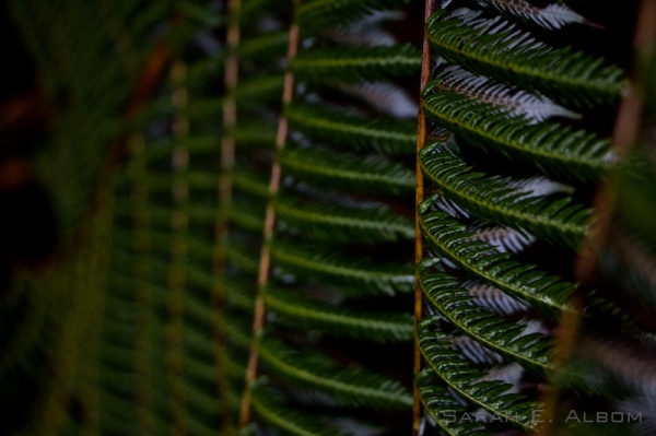 Silver Fern at Shakespear Park in New Zealand - Photograph copyright Sarah E. Albom 2015
