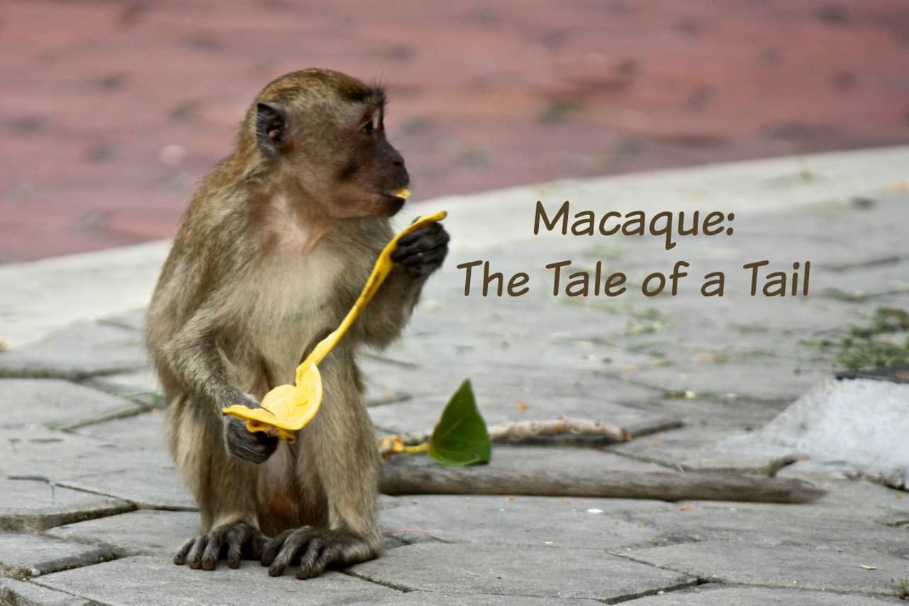 Macaque eating a banana at Batu Caves, Kuala Lumpur, Malaysia