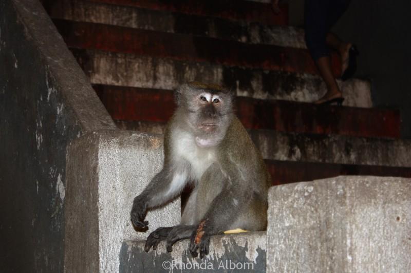 Injured macaque at Batu Caves, Kuala Lumpur, Malaysia
