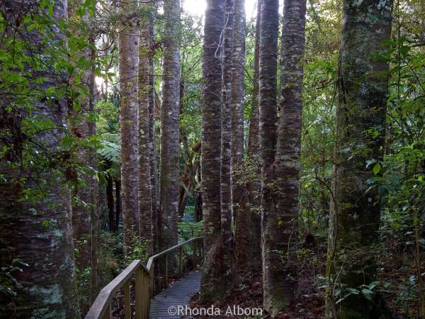 Kauri trees along the board walk in Parry Kauri Park, Warkworth, New Zealand