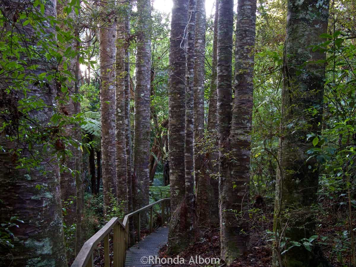 Kauri trees along the path in Parry Kauri Park, Warkworth, New Zealand