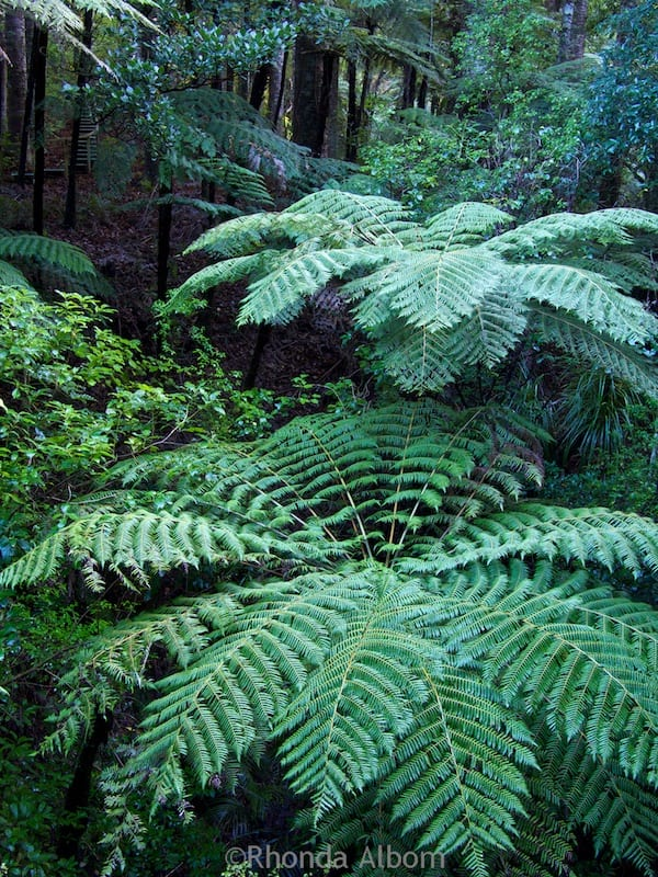 Ferns growing in Warkworth, New Zealand