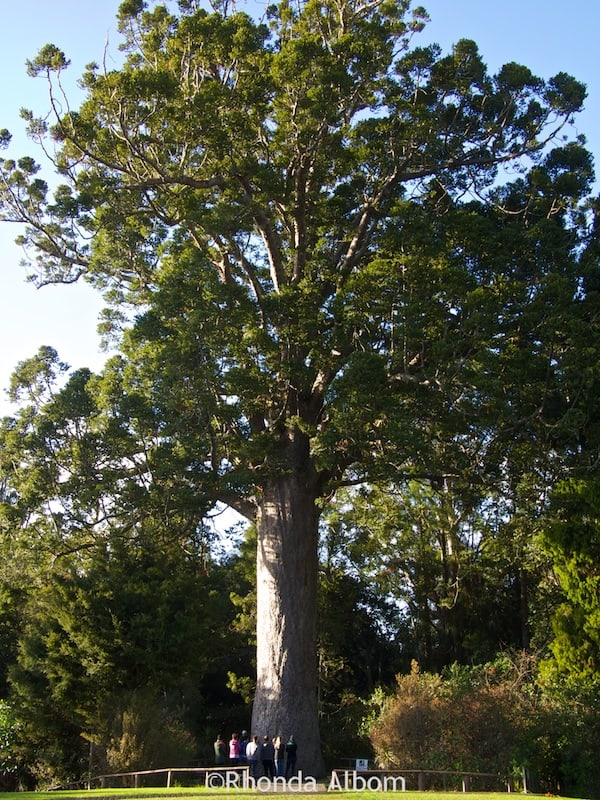 McKinney Kauri in Parry Kauri Park, Warkworth, New Zealand