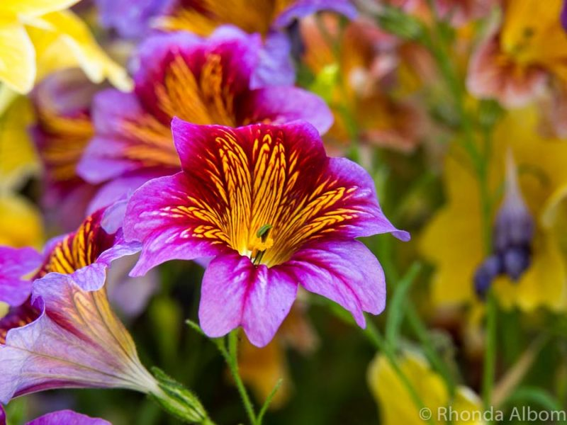 Salpiglossis from their Royale mix series at Wintergardens in Auckland New Zealand