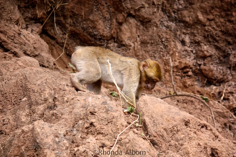 Barbary macaque near Cascade D'Ouzoud Morocco