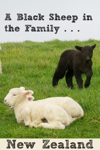 The black sheep of the family in Shakespear Park, Auckland New Zealand
