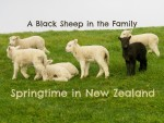 A Black Sheep in the Family: Baby Lambs in Shakespear Park