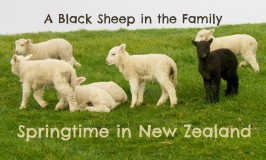 Spring lambs at Shakespear Park, Auckland New Zealand includes one black sheep