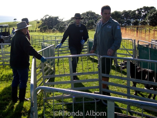 Setting up fences and gates before docking the lambs in Shakespear Park Auckland New Zealand