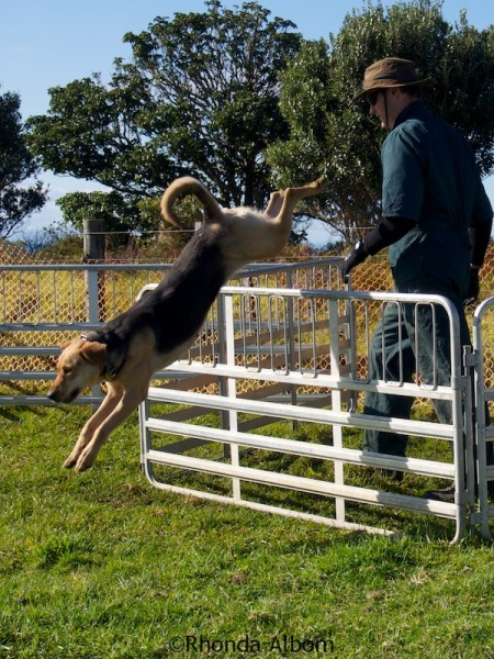 Working dog leaping over a fence.