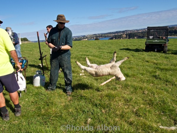 Ranger removing a lamb from the docking cradle in Shakespear Park New Zealand