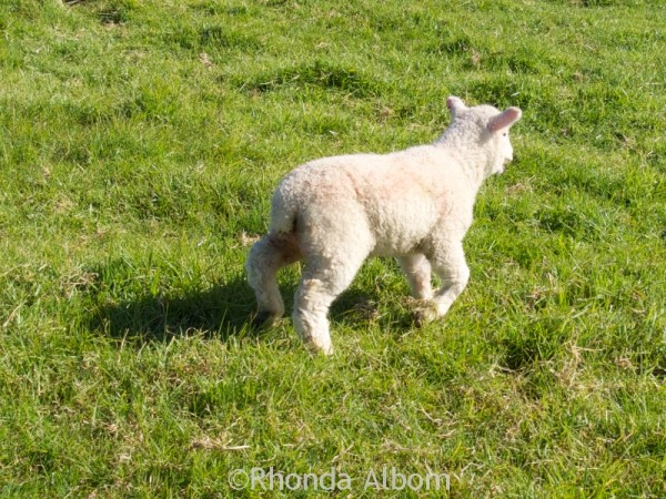 Lamb just after docking with her new short tail.