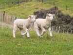 Adorable baby lambs bouncing through the field in New Zealand