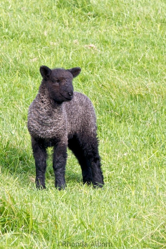 Adorable black lamb in a field in Shakespear Park, Auckland New Zealand